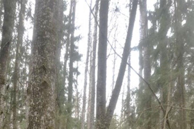 FOTO | Eesti kõrgeim haavapuu on üle 43 meetri pikk