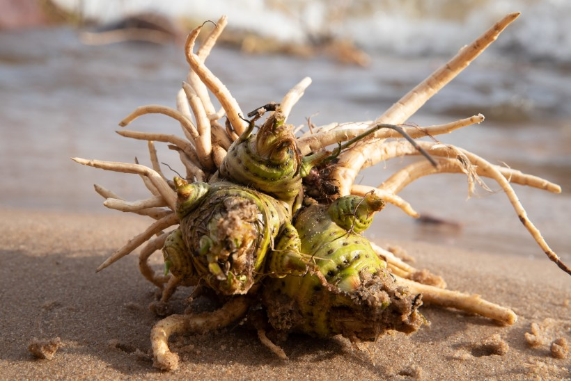 TAIMETARK HOIATAB: mürgised taimed võib väga kergesti kasulikega segamini ajada!