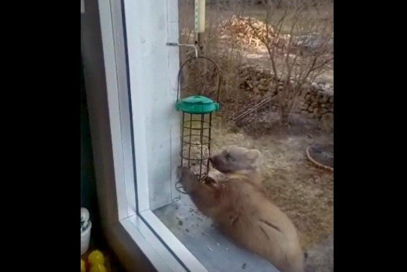 VIDEO |  Nugis käib akna taga lindude söögilaual maiustamas