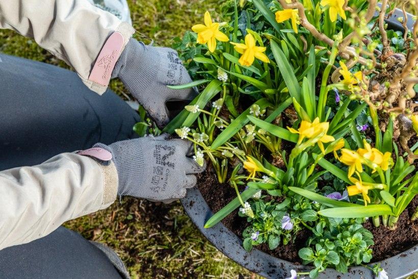 HOOAJA AVALÖÖK: kevadekuulutajad rõdul