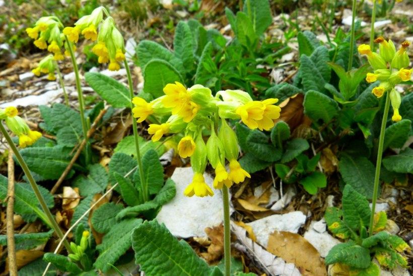 Korja nurmenukku! Väärt raviomadustega lill aitab paljude hädade korral
