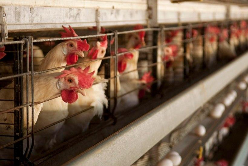 Eesti elanikud ei toeta munakanade puurispidamist, kuid miks nende ostuotsused seda põhimõtet ei peegelda?