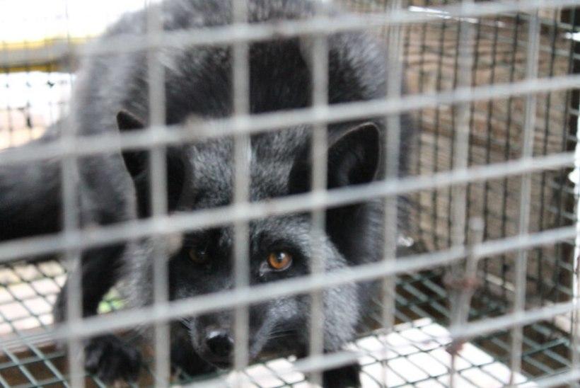 Karusloomafarmide keelustamise eelnõu läbis riigikogus teise lugemise. Alender: aeg on nende kaotamiseks on käes