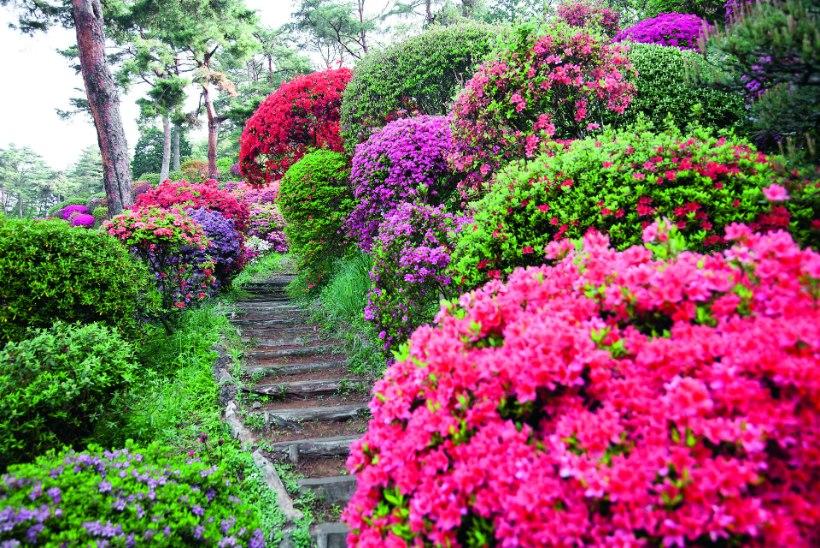 Heitlehised rododendronid – parajalt pirtsakad kaunitarid