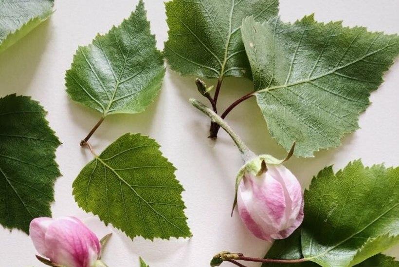 KASULIK ILU PATTA PANEMISEKS | Taimetark õpetab õunapuuõisi toiduks ja ravimiks tarvitama