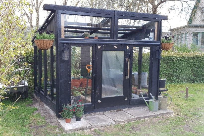 VINGE VÄRK: Pärnu naine ehitas vanadest akendest modernse kasvuhoone