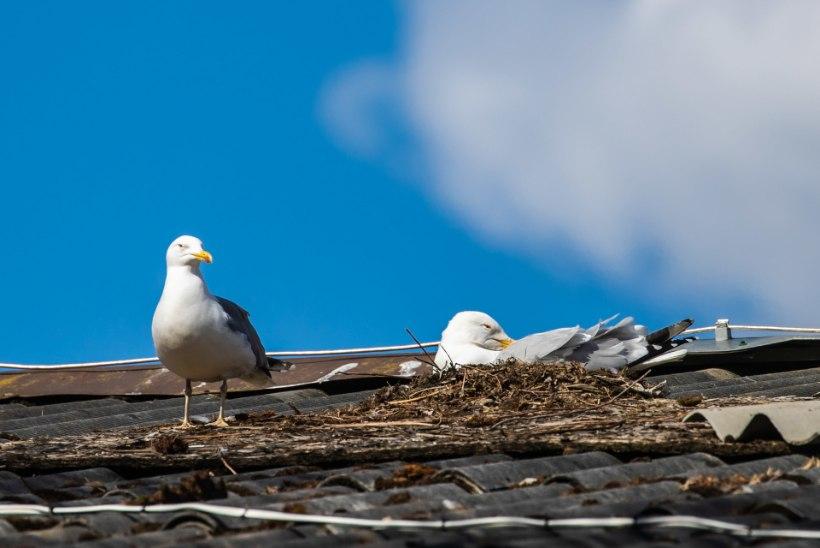 """Kajakavastased küsivad: """"Miks seda röökivat ja räpast lindu maha ei või lasta?"""""""