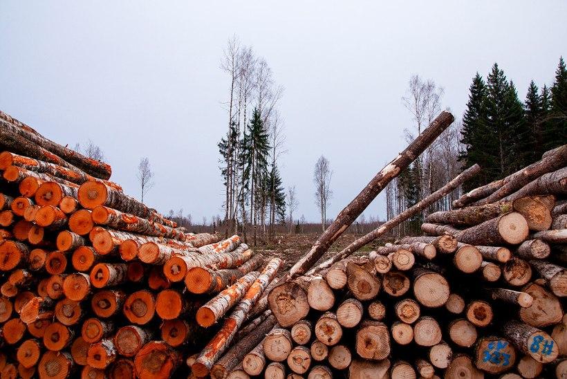 Metsandusuudiseid | Palgi hind läheb endiselt üles, küttepuit rekordiliselt odav