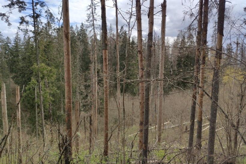 Torm, üraskid ja tuli: kliimamuutused tõstavad Eesti metsade häiringukoormust