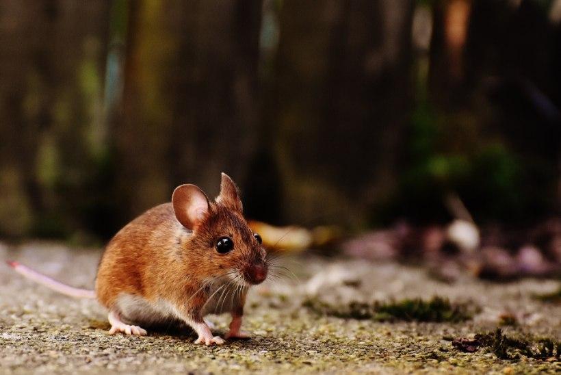 NÄRILISED KIMBUTAVAD: kas hiirtest on võimalik vabaneda ilma neid tapmata?