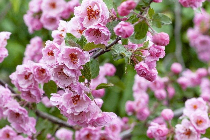 Kevadine õitemeri: iluõunapuu on aias tõeline pilgupüüdja