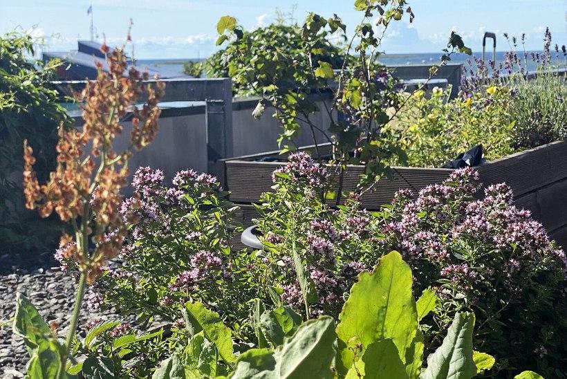 Põnev katuseaed, mille viljad rändavad kõrgelt hinnatud restorani roogadesse
