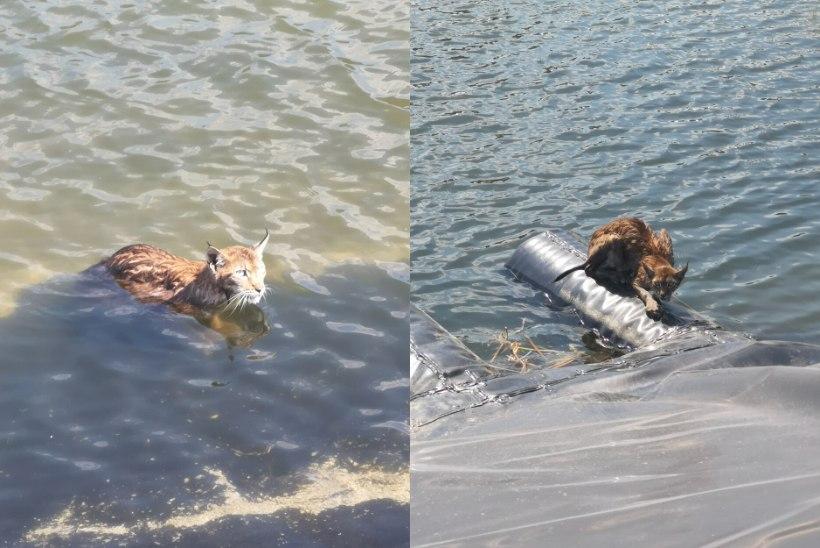 FOTOD   Päästjad aitasid kaldale uppumisohus ilvese