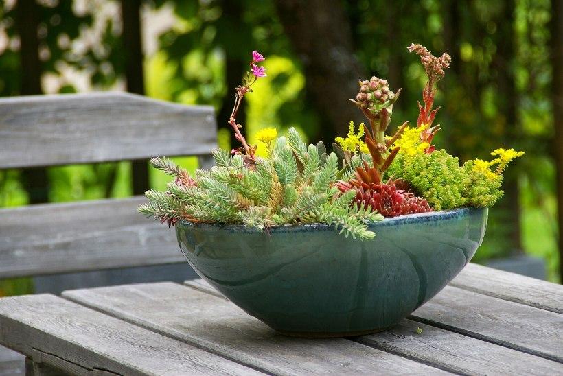 VAHEMEREPÄRANE AIAKAUNISTUS: päikeselembeline ja kuivakartmatu kiviktaimla lillepotis