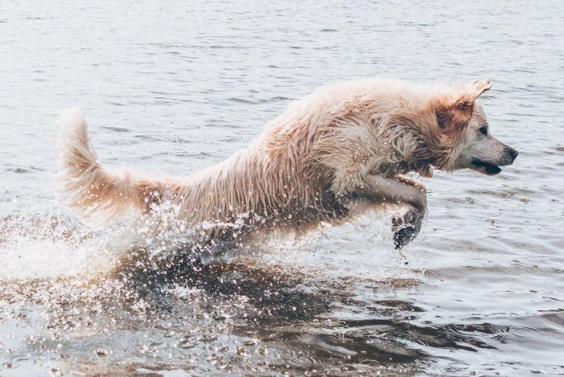 LOOMAARST SELGITAB: 6 ohtu, mis võivad lemmiklooma suvel varitseda!