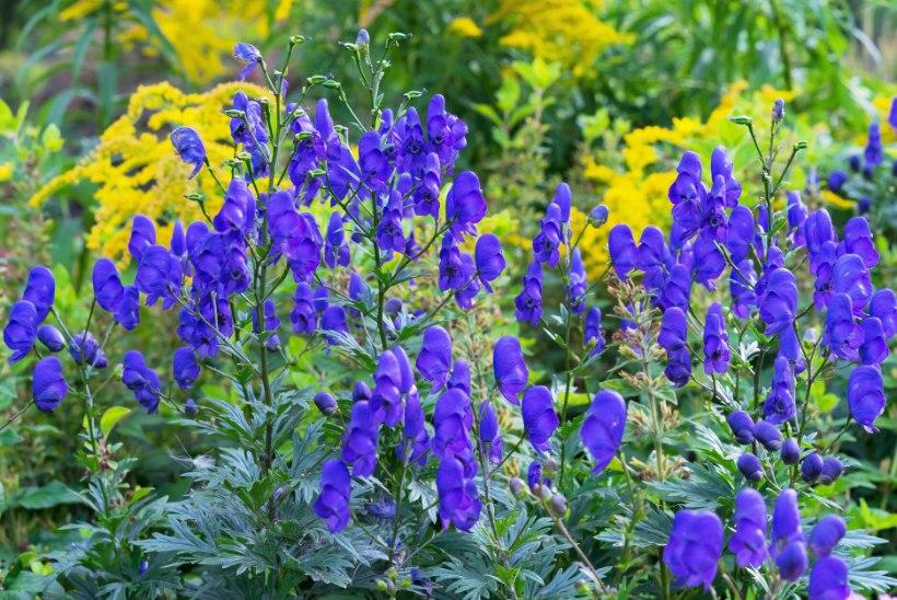 Sinisem kui taevas – kaunid taimed, mis aia särama panevad