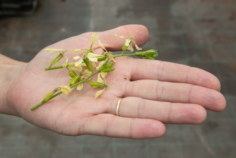 SÖÖDAV SILMAILU | Maitse hapukaid begooniaid või sinepist mungalille!