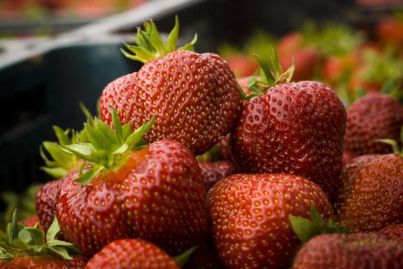 NÄPUNÄITED EKSPERTIDELT: kuidas tunda ära see õige eestimaine maasikas?