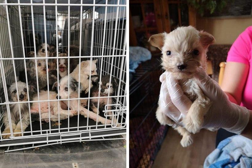 """FOTOD   Loomakaitsjad päästsid koertekolooniast üle 60 kehvas seisus kutsu: """"Arvasime, et asi on hull, aga ei osanud karta, et see on nii õõvastav."""""""