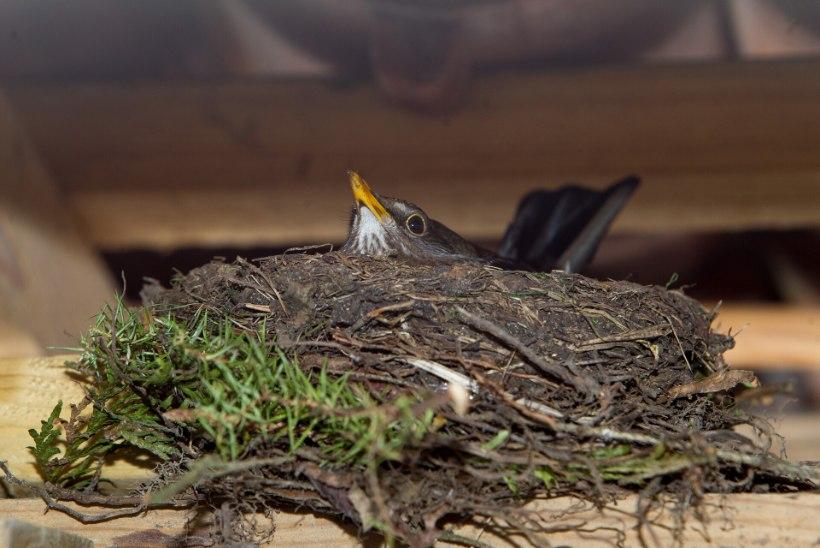Linnurahu pikendatakse kaitsealadel