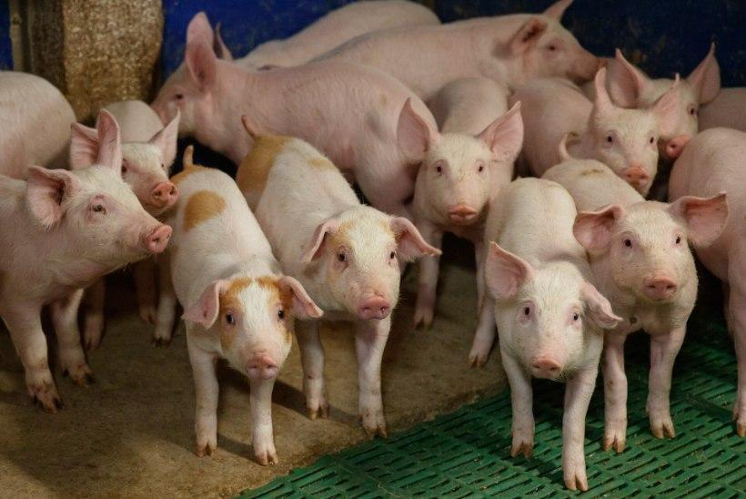 Harjumaal asuvas farmis avastati seakatk, 2000 looma hukatakse