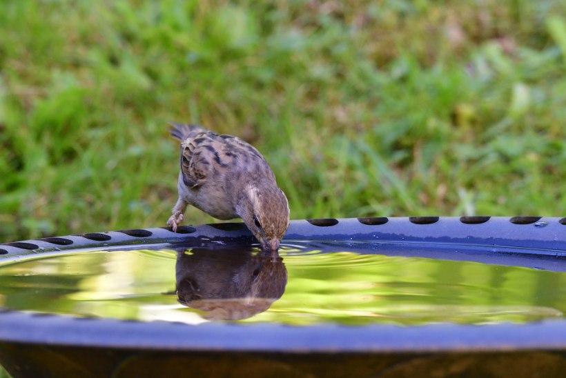 Kuumus kimbutab: pane lindudele juua!