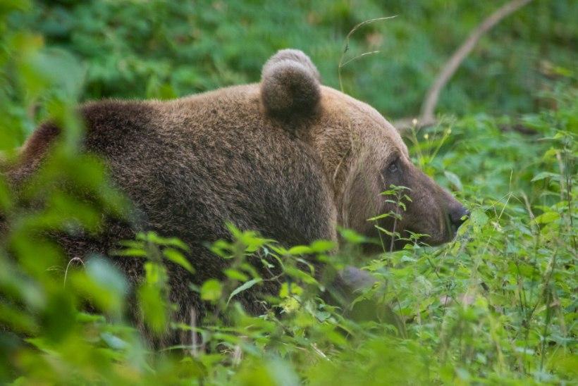 NUMBER TEADA! Just nii mitu karu võib uuel jahihooajal küttida