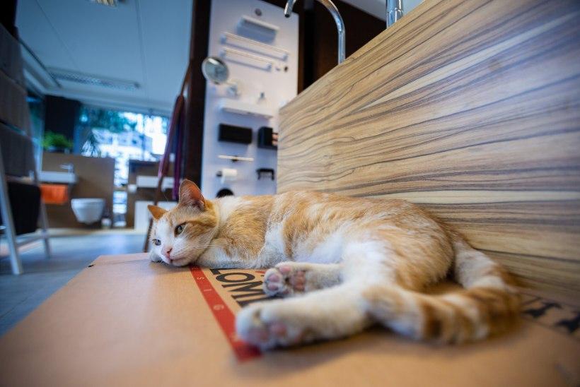 HIIREKUNINGAST POEDIREKTOR! Sanitaartehnika poes töötav kass Pusil on eluga rahul – fännid toovad raha ja kingitusi