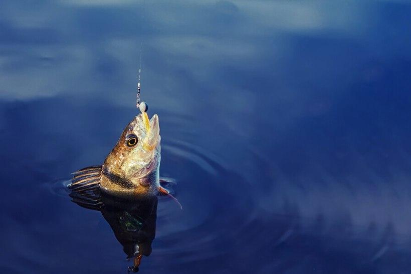 Jama jutt, et Lääne-Virumaal kala ei saa!