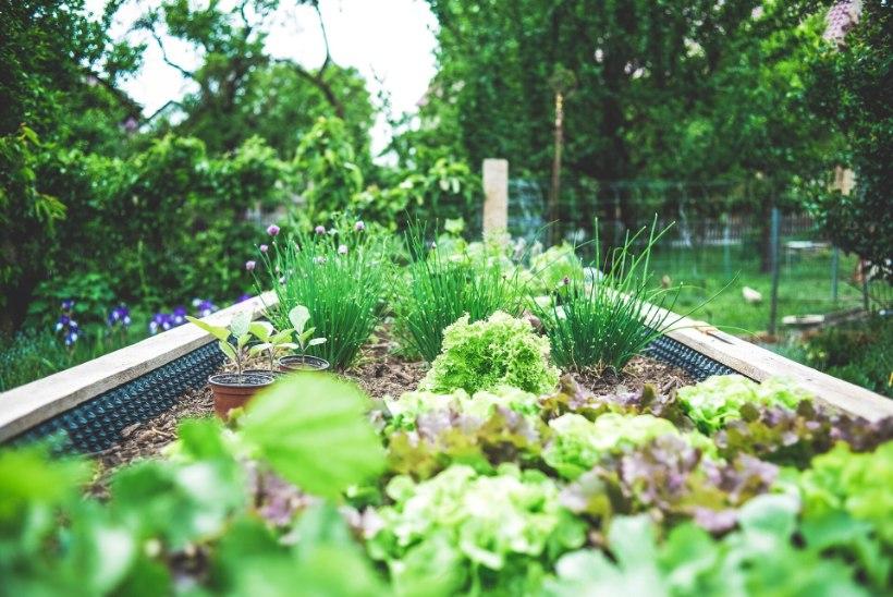 Nende taimekaitse nippidega kahjurid enam aeda ei rüüsta