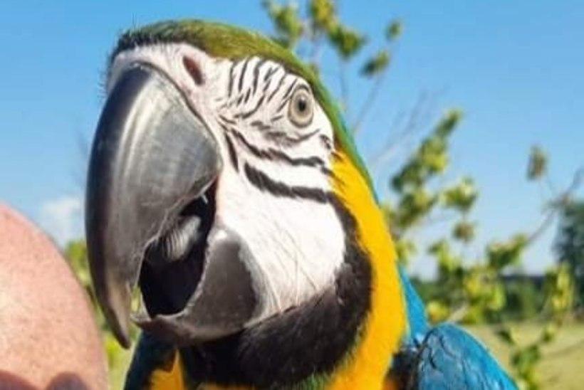 KES ON NÄINUD? Omanik otsib juunikuus kaduma läinud papagoid