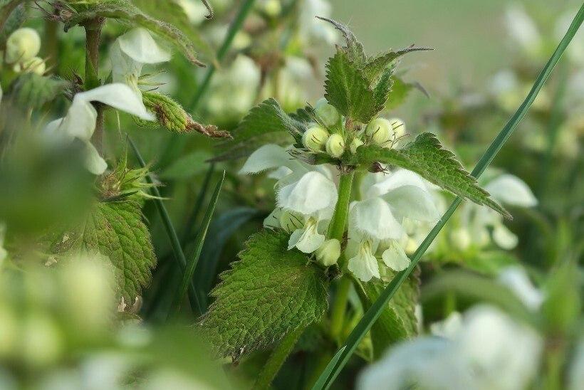 KORJA VALGET IMINÕGEST! Umbrohuna kasvav taim turgutab juukseid ja aitab ka põletikuga võidelda