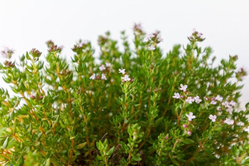 AEDNIK ANNAB NÕU: 12 ravimtaime, mida koduaias peaks kindlasti kasvatama