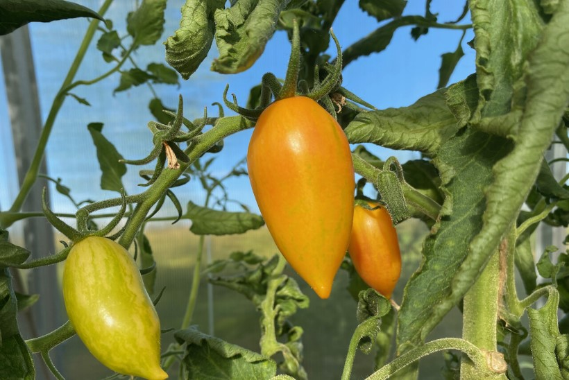 TOMATID ESIVANEMATE AIAMAALT: Marian Nummerti kasvuhoones kasvavad põnevad tomatid, millest mõni sort lausa 100 aastat vana