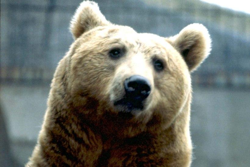 METSLOOMAGA TÕTT VAADATES: mida teha, kui kohtud karu, põdra, hundi, ilvese või metsseaga?