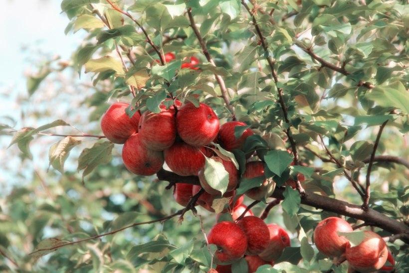 LUGEJA KÜSIB: kelle omad on naabri aeda kasvanud õunapuuoksa viljad?