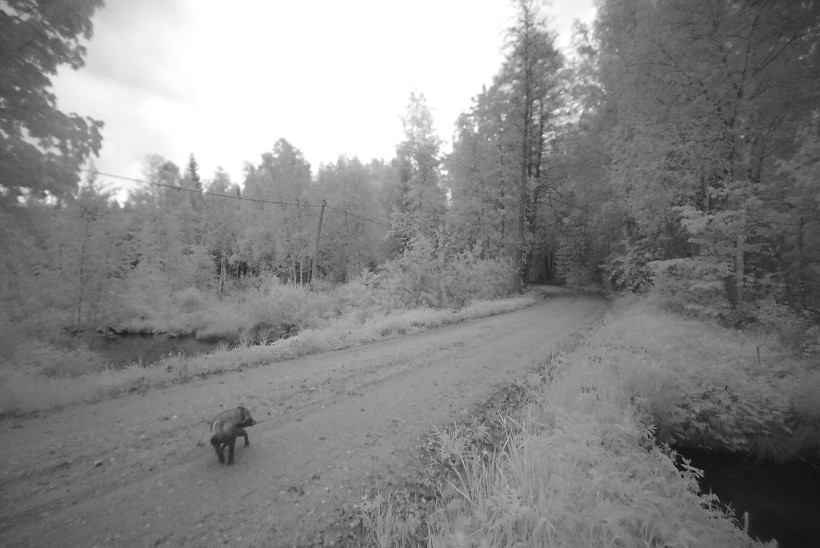 ÄGE VÄRK! Rajakaamerale jäävad nii ilvesepere, karu, hunt kui teised ulukid