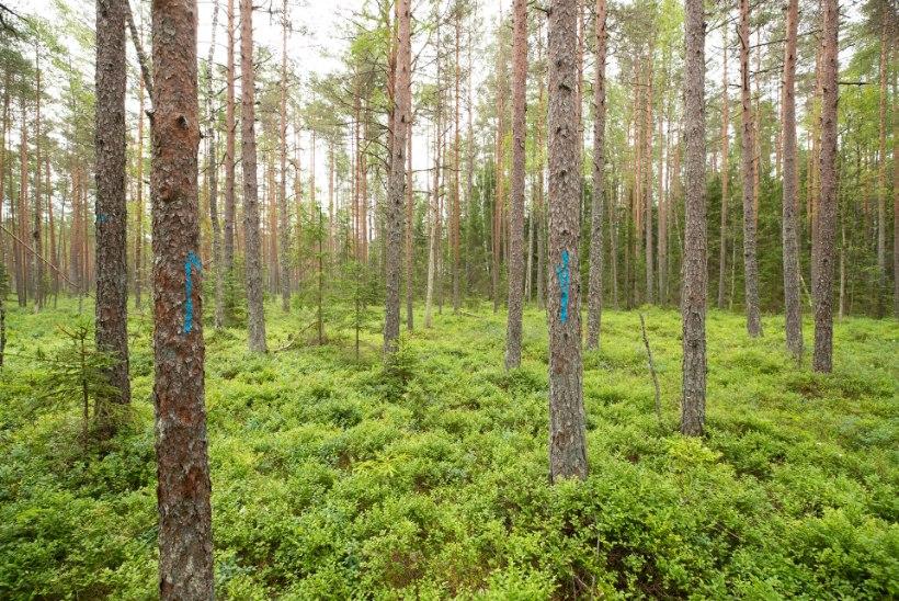 ARVUTAME ROHELISEMAKS! Miljonite tonnide küsimus: Eesti teatab maailmale, et meie metsad seovad süsinikku – aga tegelikult on vastupidi!