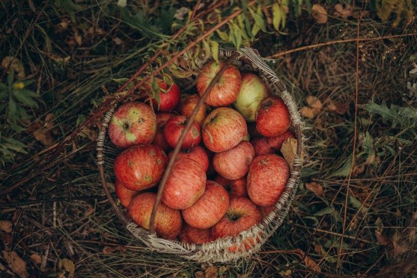 Septembri aiamärksõnad: kraami kasvuhoonet, külva kevadeks ja kaitse tulbisibulaid!