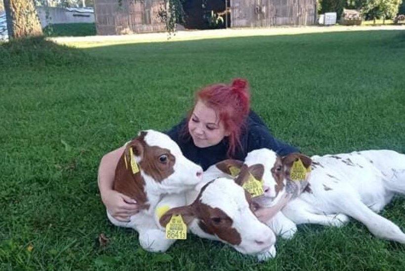 MUU, MUU JA MUU! Saaremaal sündisid lehmal elusad ja terved kolmikud: see on harukordne!