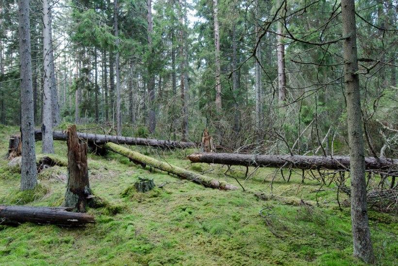 Kliimamuutuste tuules: kas paarisaja aasta pärast tunneksime oma metsa ära?