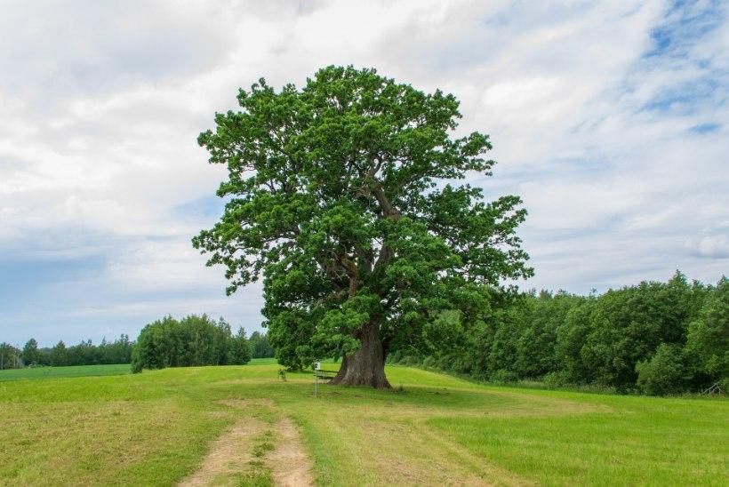 AJALUGU | Eesti tammede uurimise varasem lugu: jämedus, vanus ja teisendid