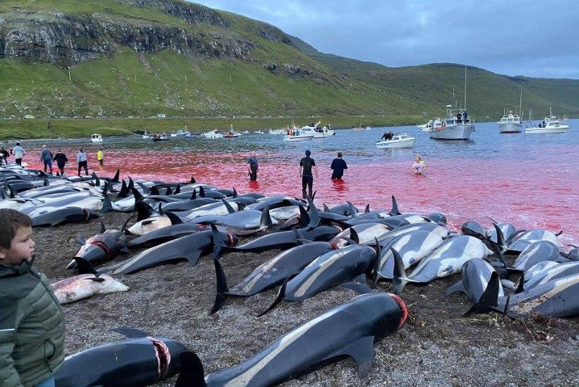 JULM TAPATÖÖ: Fääri saartel tapeti ühe päevaga üle 1400 delfiini