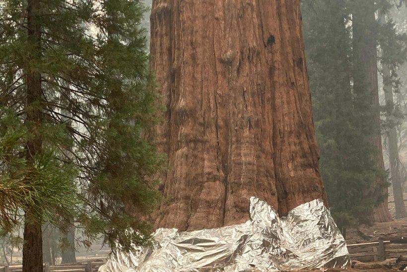 Maailma suurim puu on ohus