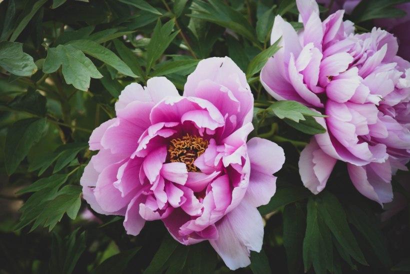 Soovid seda kaunist õitsejat oma aeda? Nüüd on parim aeg pojengide istutamiseks