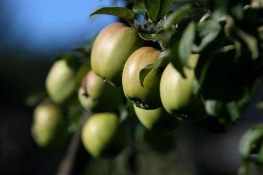 Õunu kohtle õrnalt