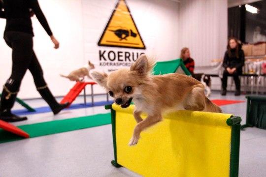 Sülekoerte mängutunnis: «Koerad tahavad ju hirmsasti kiitust saada!»