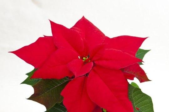 5 jõululille ja mida nad õitsemiseks vajavad