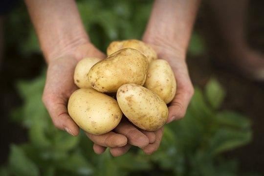 Juba võib põllult saada värsket kartulit. Valmista sellest hoopis noorendav näomask!