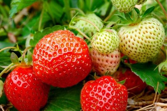 Hea aeg istutada maasikaid